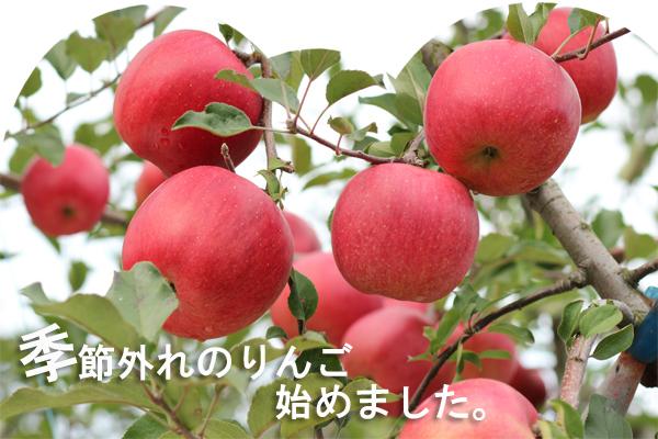 季節外れのりんご始めました。