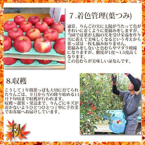 秋 7.着色管理通常、りんごの実に太陽が当たって色がきれいに着くように葉摘みをしますが、当園では葉が太陽の光を受け栄養を作り実に蓄えて美味しくなるという考えから葉っぱは一枚も摘み取りません。葉摘みをしないと色むらやマダラ模様になりますが、この色むらが美味しい証なんです。8.収穫こうして1年間大切に育てられたりんごは、9月から雪の降り始める11月下旬頃まで収穫が行われます。収穫~選果・発送まで、りんごにキズが着かないようひとつひとつ丁寧に手作業でお客様でお届けしています。