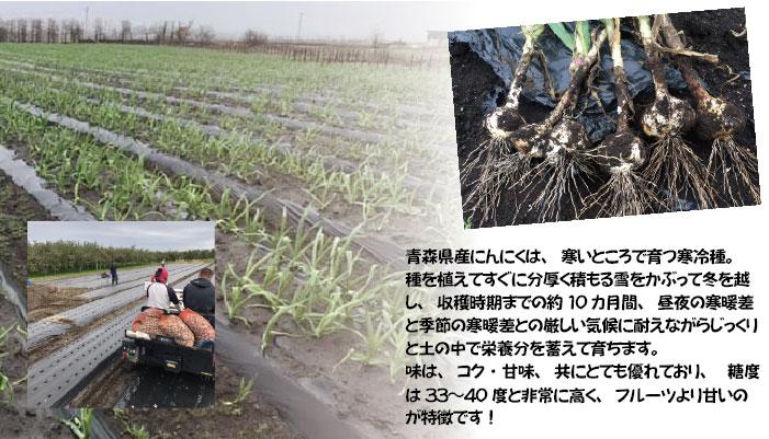 青森県産にんにくは寒いところで育つ寒冷種。種を植えてすぐに分厚く積もる雪をかぶって冬を越し、収穫時期までの約10カ月間、昼夜の寒暖差と季節の寒暖差との厳しい気候に耐えながらじっくりと土の中で栄養分を蓄えて育ちます。越冬の間、凍ってしまわないように糖度をあげて自身の身を守っているのです。味は、コク・甘味、共にとても優れており、糖度は33〜40度と非常に高く、フルーツより甘いのが特徴です!